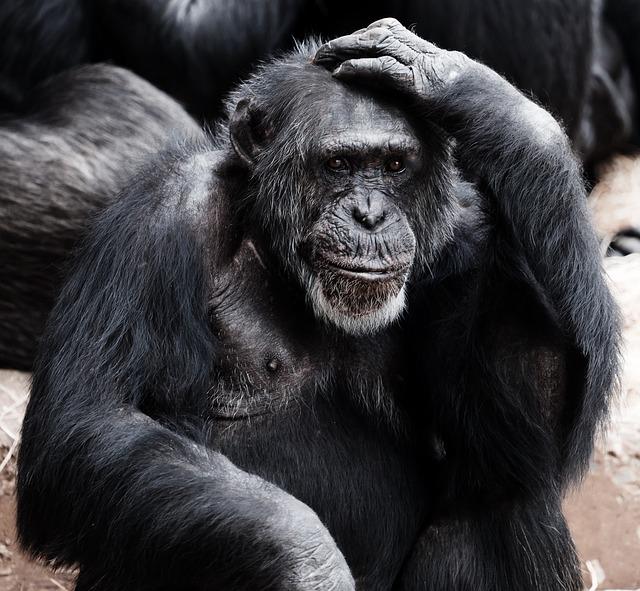 starý šimpanz