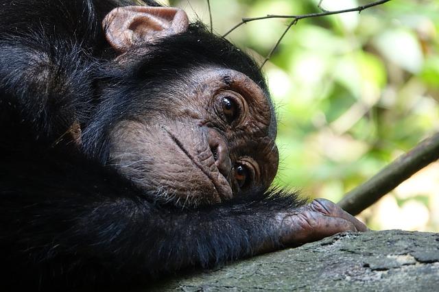 smutná opice