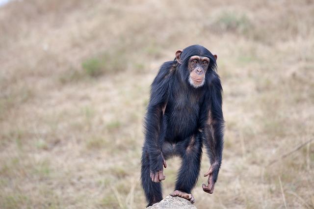 šimpanz na kameni