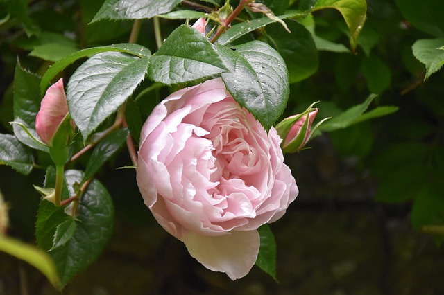 Květ plnokvěté růže