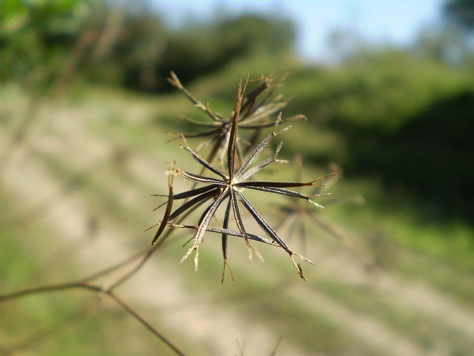 semeno kotvičníku
